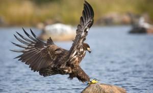 Stor rovfågel landar på en sten i havet.