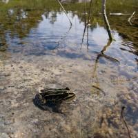 En groda sitter på en sten i vattnet.